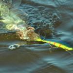 Уловистые воблеры на Финском заливе для судака